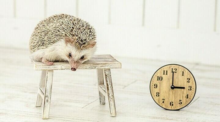 休息しているハリネズミ。イメージです